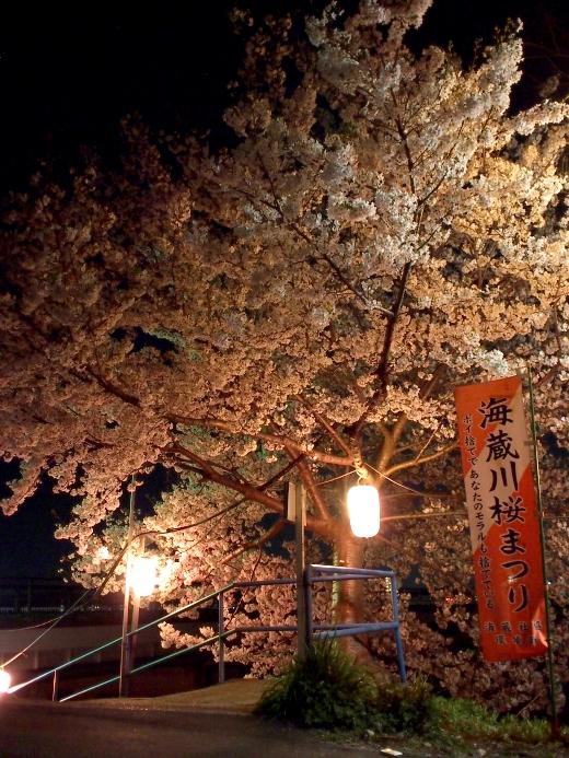 海蔵川 桜