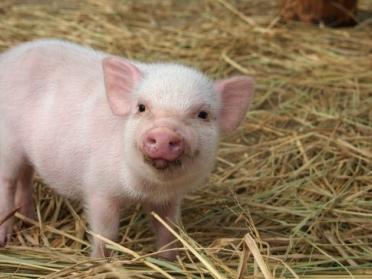 スエトシ牧場 子豚