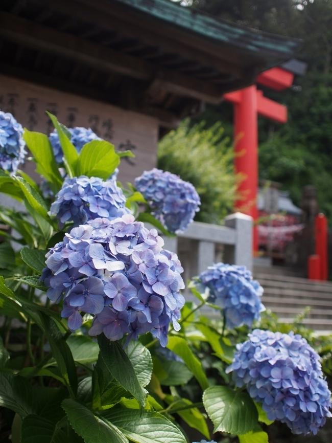 江の島 紫陽花