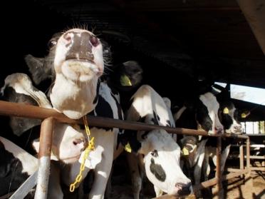 愛知牧場 牛2
