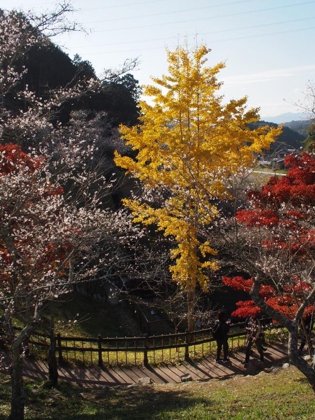 小原四季桜まつり4