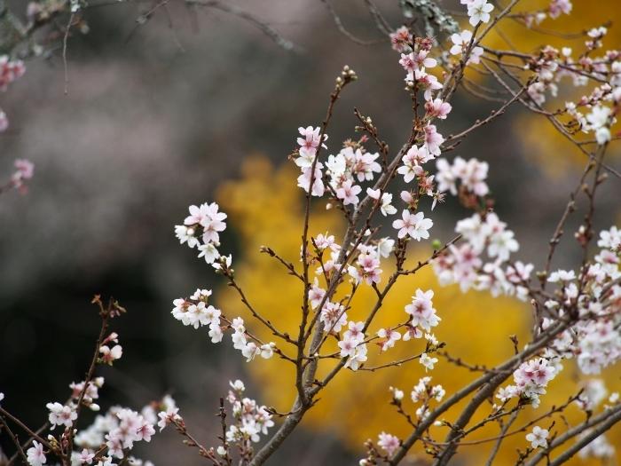 小原四季桜まつり2