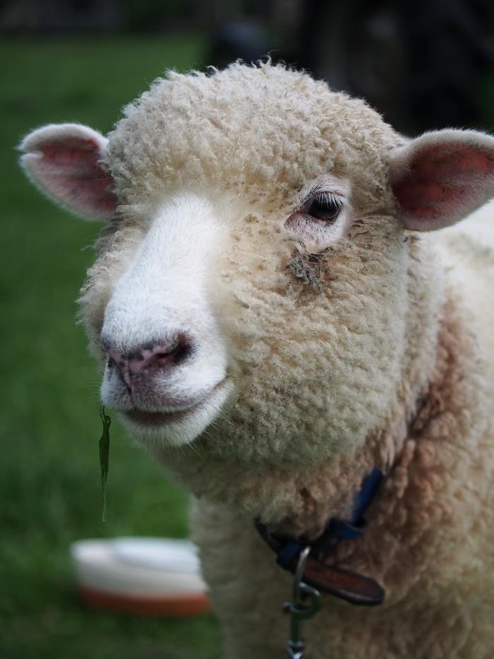 長門牧場の羊の顔