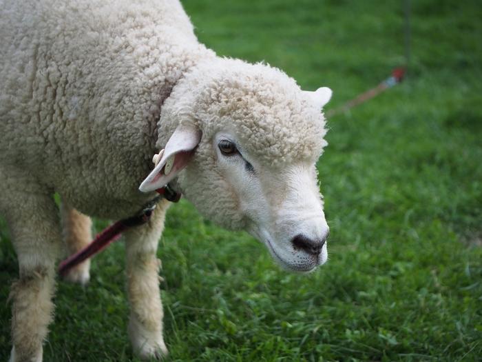 長門牧場 羊